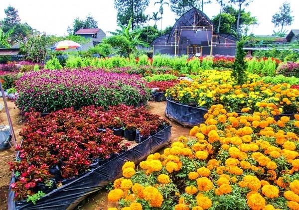 Kebun Begonia Lembang