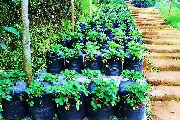 Wisata Kebun Strawberry Ciwidey Bandung